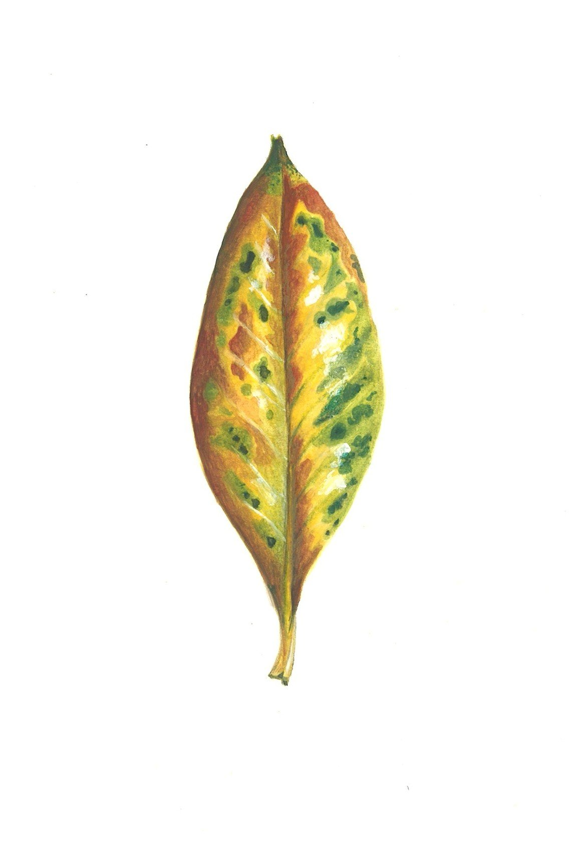 feuille de magnolia