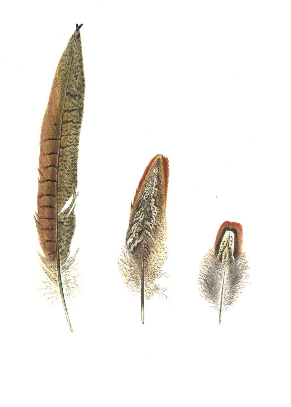 plumes de faisan et plumes 224 la plume 183 in 232 s de chant 233 rac