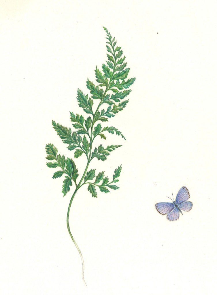 Papillonnages dans Dessins naturalistes fougere-et-azure